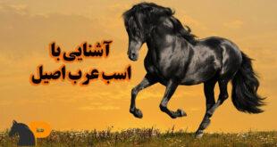 اسب عرب اصیل