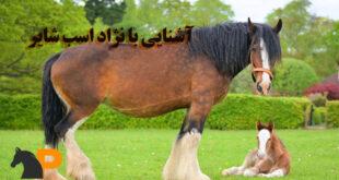 نژاد اسب شایر