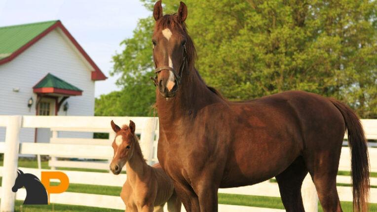 نژاد اسب سدلبرد آمریکایی