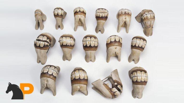 تشخیص سن اسب از روی دندانها
