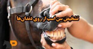تشخیص سن اسب